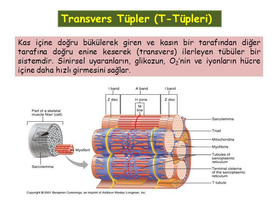Transvers Tüpler (T-Tüpleri)