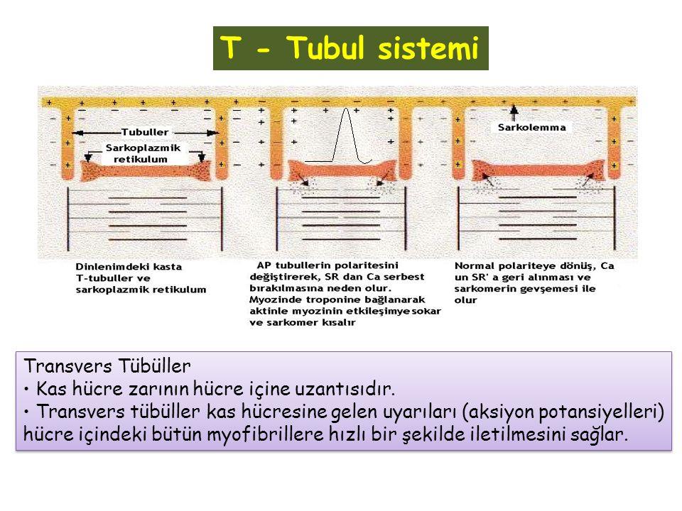T - Tubul sistemi Transvers Tübüller