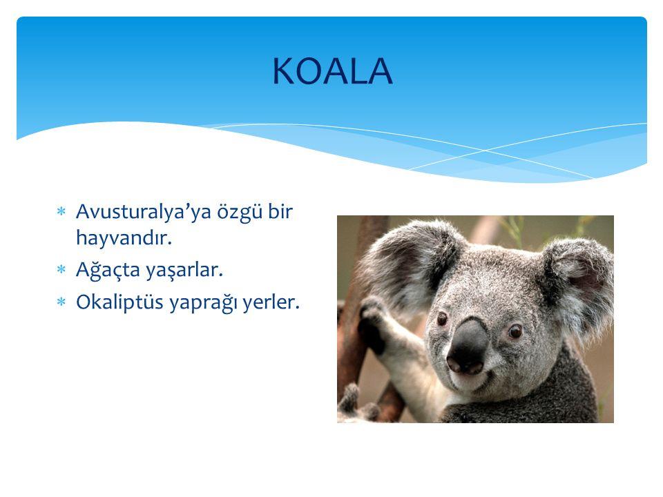 KOALA Avusturalya'ya özgü bir hayvandır. Ağaçta yaşarlar.