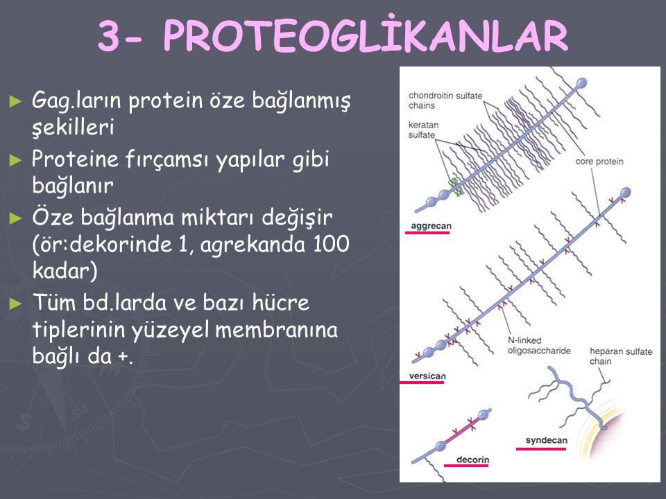 3- PROTEOGLİKANLAR Gag.ların protein öze bağlanmış şekilleri