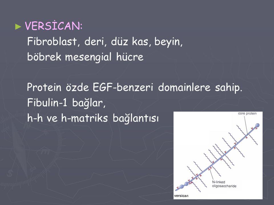 VERSİCAN: Fibroblast, deri, düz kas, beyin, böbrek mesengial hücre. Protein özde EGF-benzeri domainlere sahip.