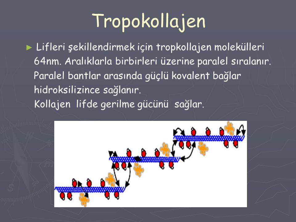 Tropokollajen Lifleri şekillendirmek için tropkollajen molekülleri