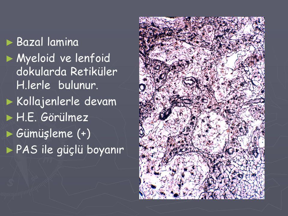 Bazal lamina Myeloid ve lenfoid dokularda Retiküler H.lerle bulunur. Kollajenlerle devam. H.E. Görülmez.