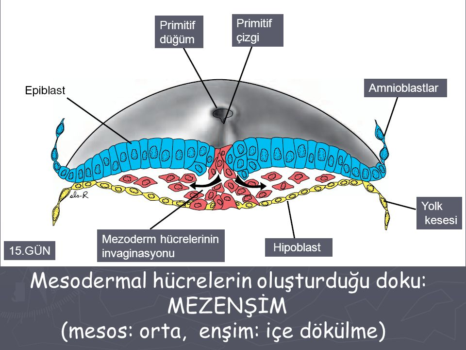Mesodermal hücrelerin oluşturduğu doku: MEZENŞİM