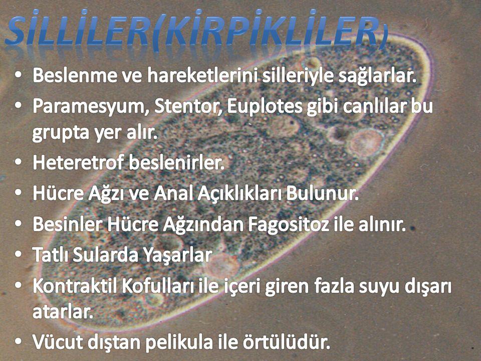 SİLLİLER(KİRPİKLİLER)