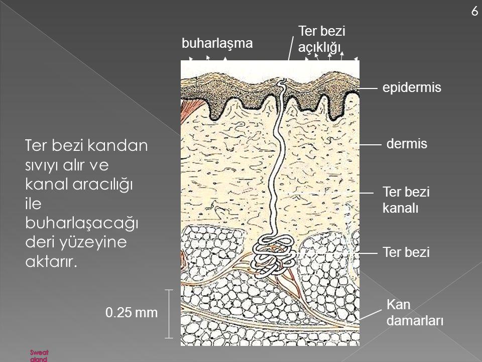 6 Ter bezi açıklığı. buharlaşma. epidermis. Ter bezi kandan sıvıyı alır ve kanal aracılığı ile buharlaşacağı deri yüzeyine aktarır.