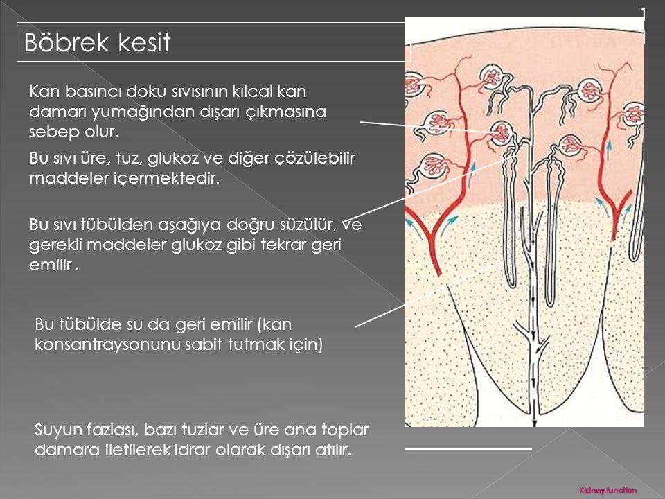11 Böbrek kesit. Kan basıncı doku sıvısının kılcal kan damarı yumağından dışarı çıkmasına sebep olur.