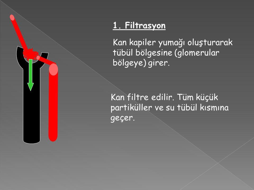 1. Filtrasyon Kan kapiler yumağı oluşturarak tübül bölgesine (glomerular bölgeye) girer.