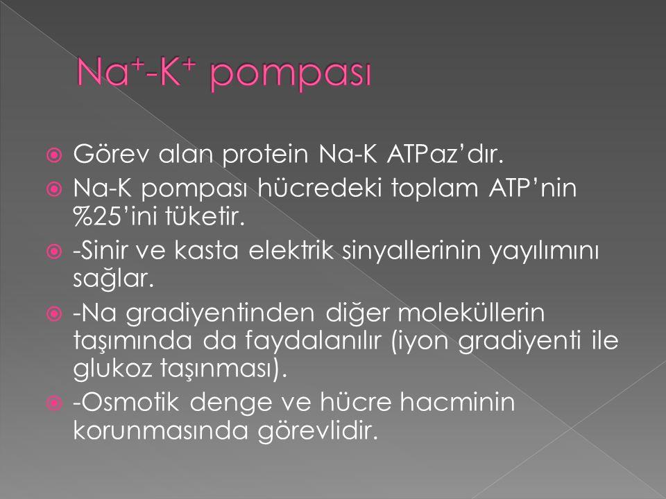 Na+-K+ pompası Görev alan protein Na-K ATPaz'dır.