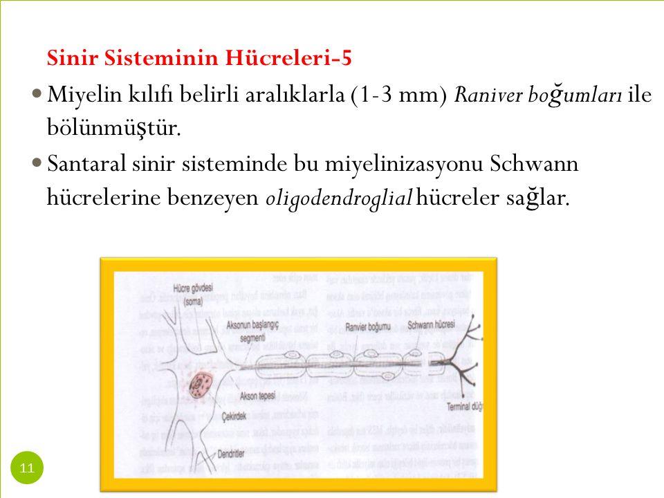 Sinir Sisteminin Hücreleri-5