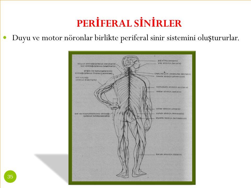 PERİFERAL SİNİRLER Duyu ve motor nöronlar birlikte periferal sinir sistemini oluştururlar.