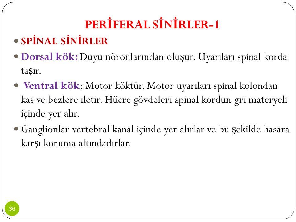 PERİFERAL SİNİRLER-1 SPİNAL SİNİRLER. Dorsal kök: Duyu nöronlarından oluşur. Uyarıları spinal korda taşır.
