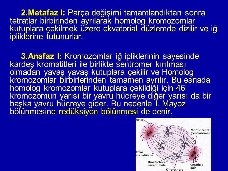2.Metafaz I: Parça değişimi tamamlandıktan sonra tetratlar birbirinden ayrılarak homolog kromozomlar kutuplara çekilmek üzere ekvatorial düzlemde dizilir ve iğ ipliklerine tutunurlar.