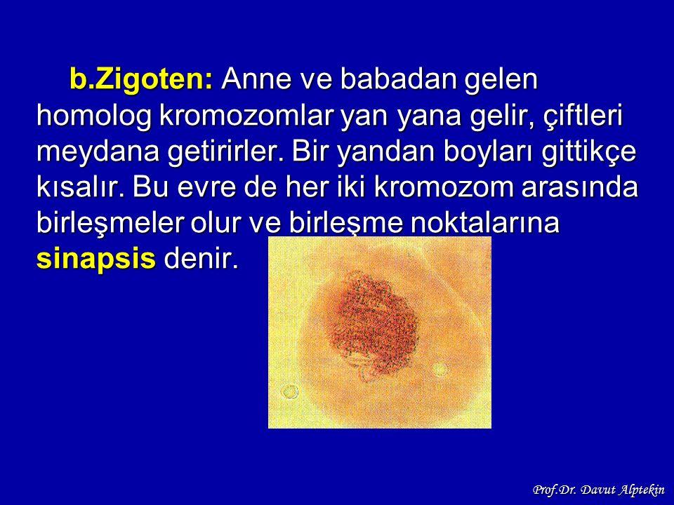 b.Zigoten: Anne ve babadan gelen homolog kromozomlar yan yana gelir, çiftleri meydana getirirler. Bir yandan boyları gittikçe kısalır. Bu evre de her iki kromozom arasında birleşmeler olur ve birleşme noktalarına sinapsis denir.