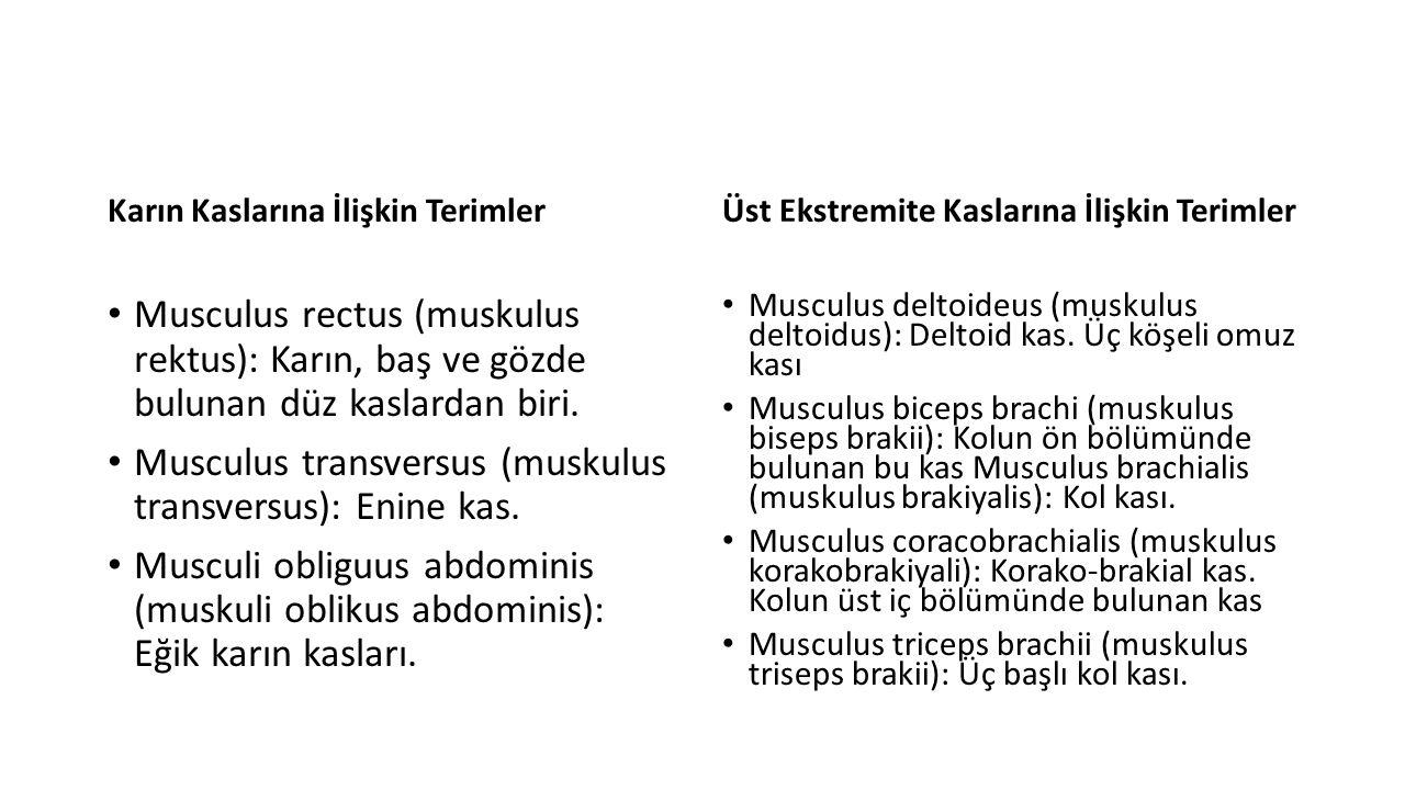 Musculus transversus (muskulus transversus): Enine kas.