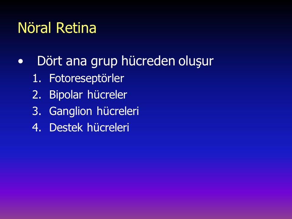 Nöral Retina Dört ana grup hücreden oluşur Fotoreseptörler