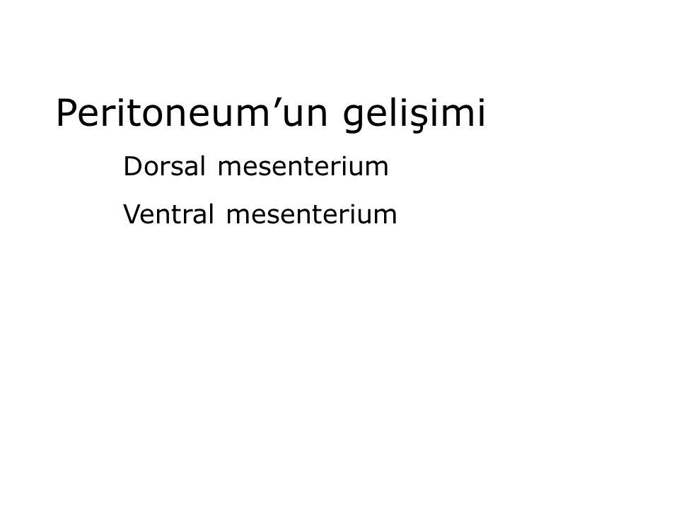 Peritoneum'un gelişimi