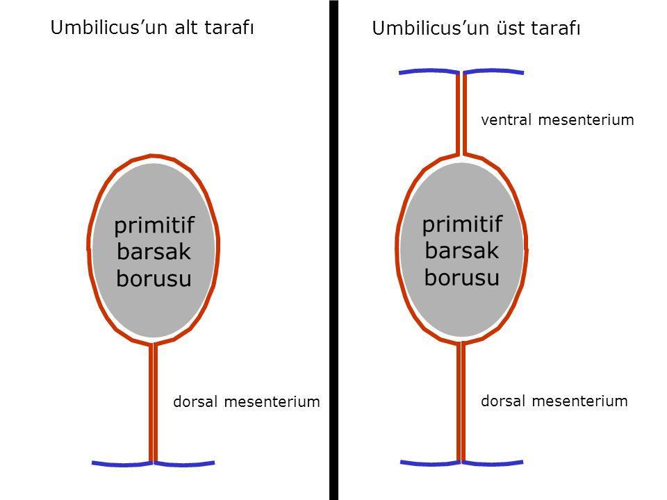 primitif primitif barsak barsak borusu borusu Umbilicus'un alt tarafı