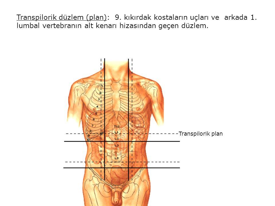 Transpilorik düzlem (plan): 9. kıkırdak kostaların uçları ve arkada 1
