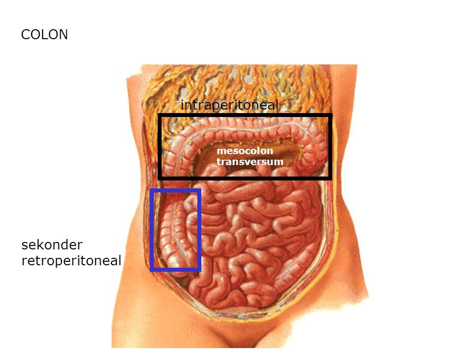 COLON intraperitoneal mesocolon transversum sekonder retroperitoneal