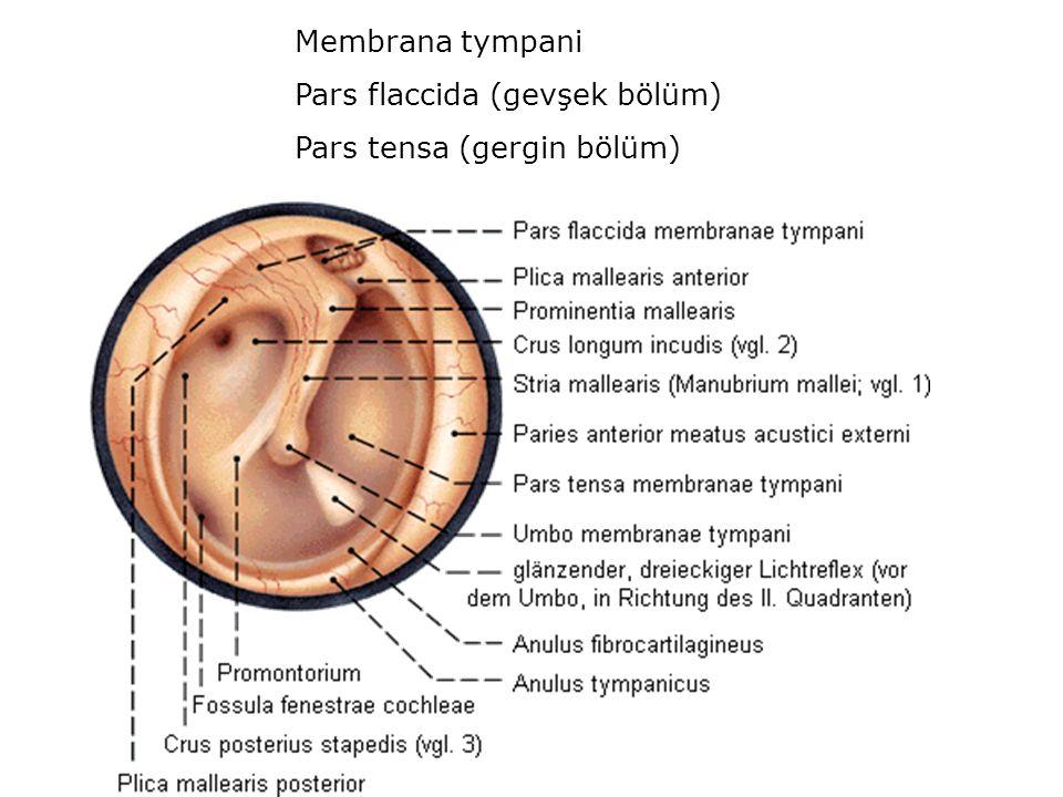 Membrana tympani Pars flaccida (gevşek bölüm) Pars tensa (gergin bölüm)
