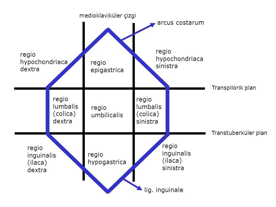 hypochondriaca sinistra regio hypochondriaca dextra regio epigastrica