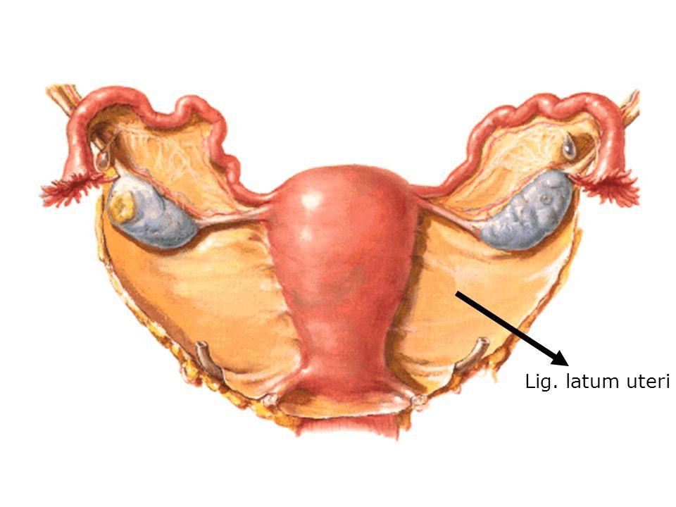 Lig. latum uteri