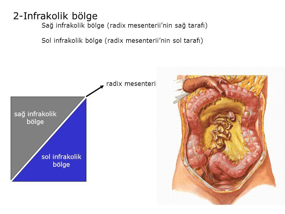 2-Infrakolik bölge Sağ infrakolik bölge (radix mesenterii'nin sağ tarafı) Sol infrakolik bölge (radix mesenterii'nin sol tarafı)