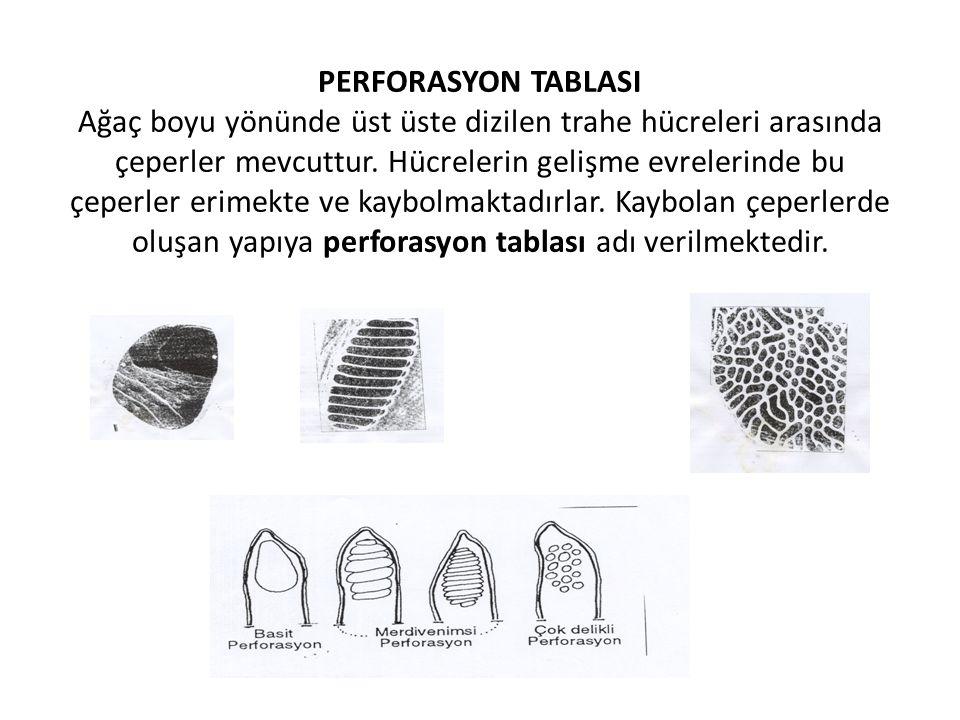PERFORASYON TABLASI Ağaç boyu yönünde üst üste dizilen trahe hücreleri arasında çeperler mevcuttur.