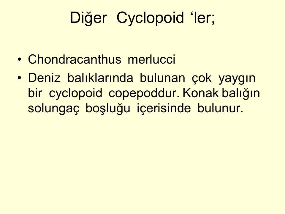 Diğer Cyclopoid 'ler; Chondracanthus merlucci