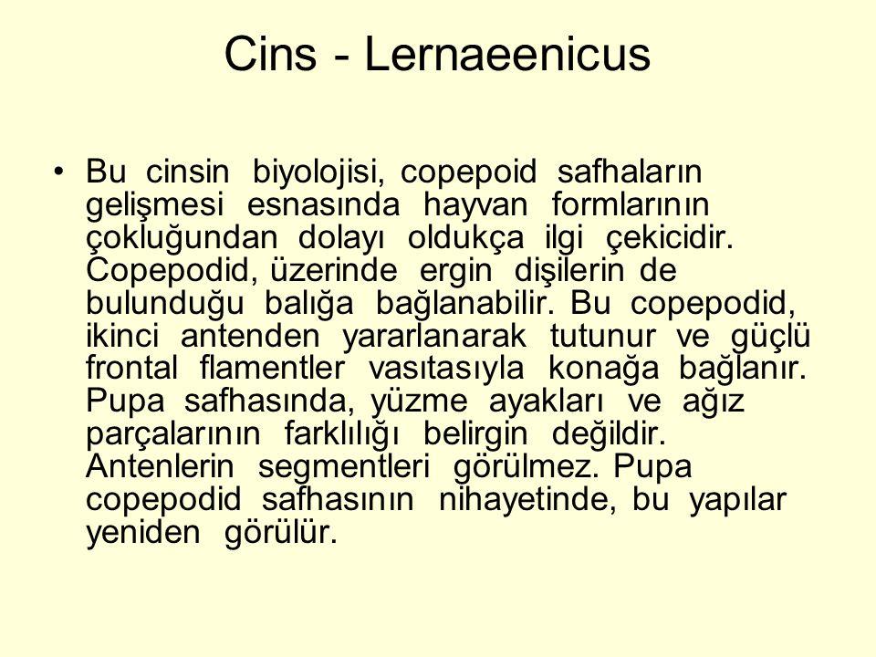 Cins - Lernaeenicus