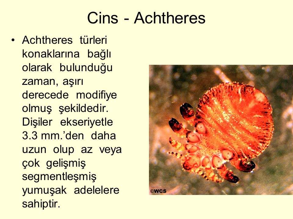 Cins - Achtheres