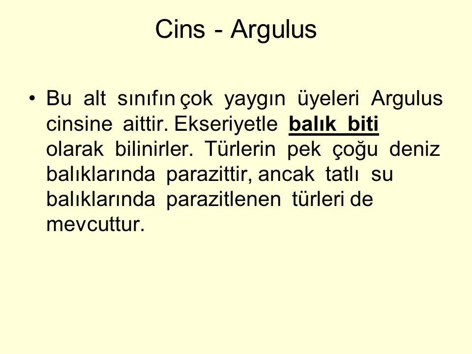 Cins - Argulus