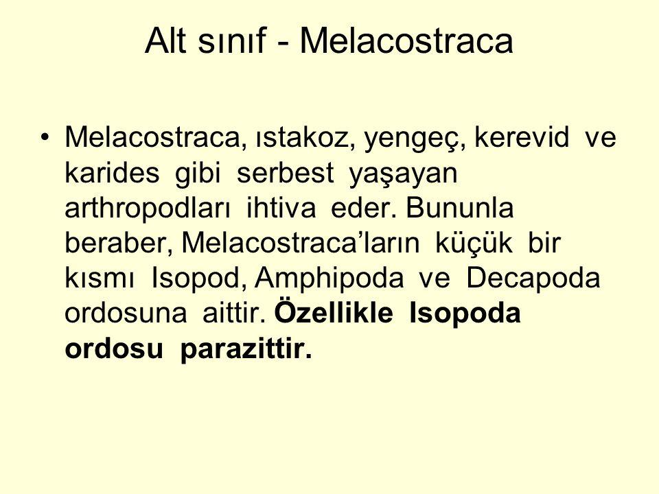 Alt sınıf - Melacostraca