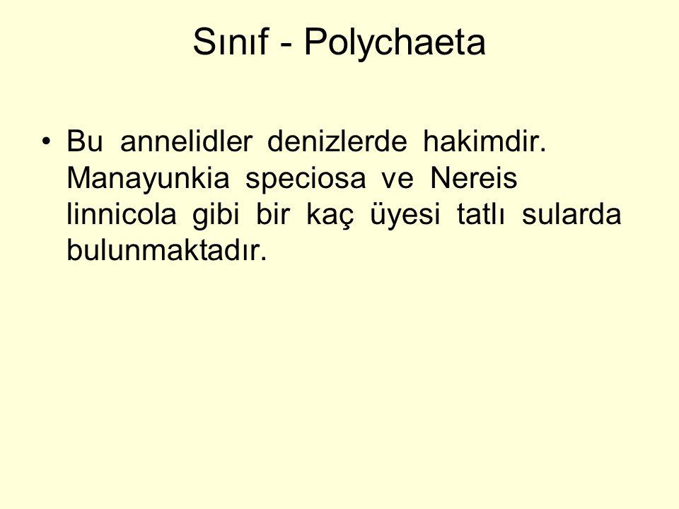 Sınıf - Polychaeta