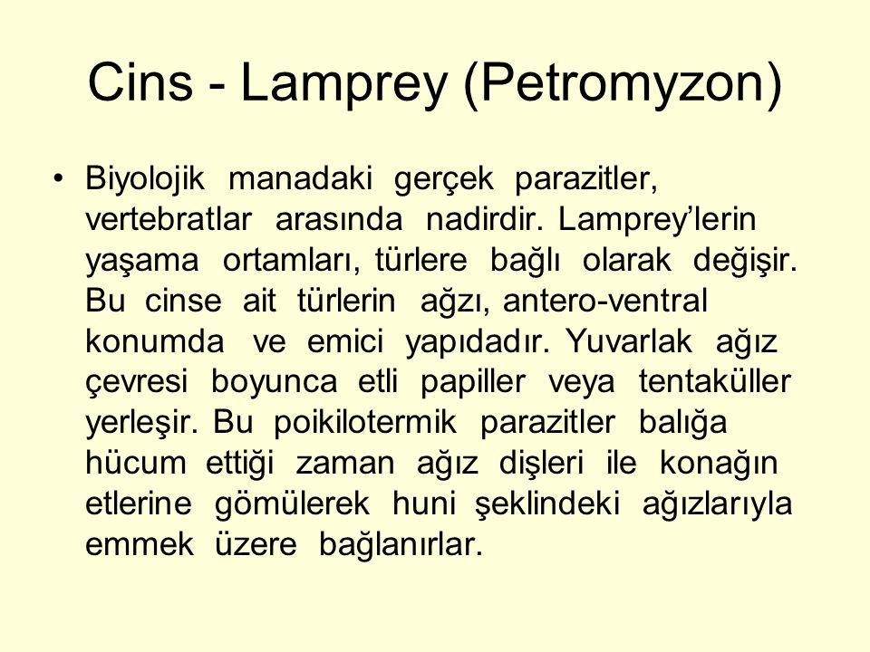 Cins - Lamprey (Petromyzon)