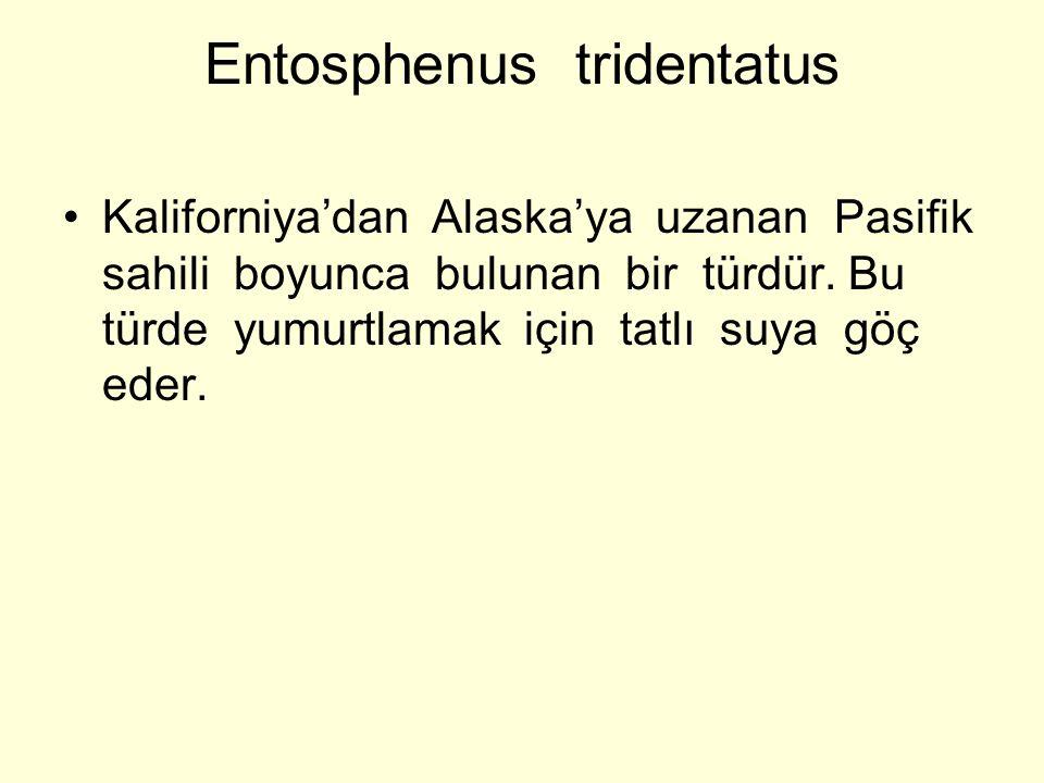 Entosphenus tridentatus