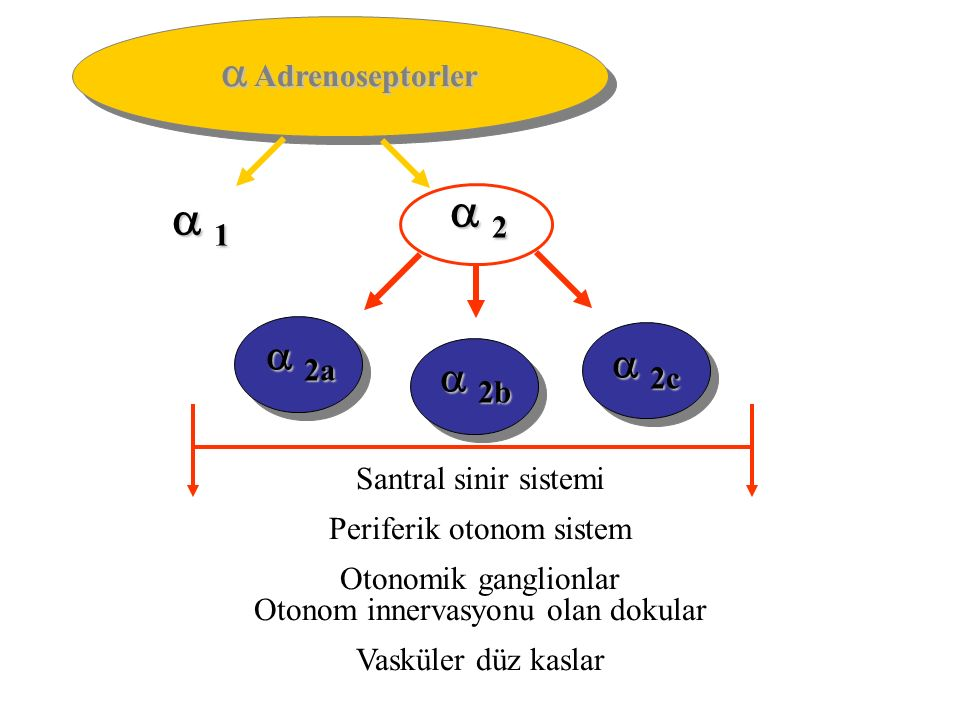  2  1  Adrenoseptorler  2a  2c  2b Santral sinir sistemi