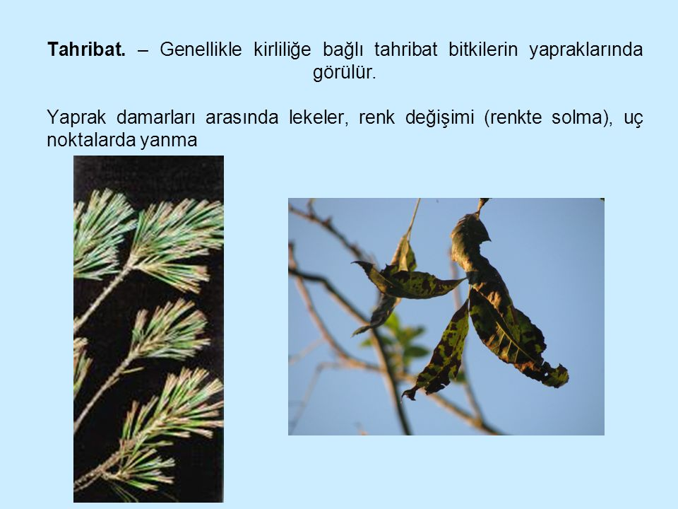 Tahribat. – Genellikle kirliliğe bağlı tahribat bitkilerin yapraklarında görülür.