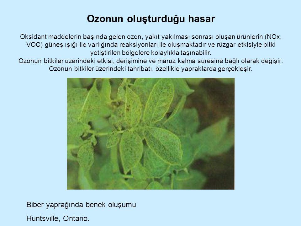 Ozonun oluşturduğu hasar Oksidant maddelerin başında gelen ozon, yakıt yakılması sonrası oluşan ürünlerin (NOx, VOC) güneş ışığı ile varlığında reaksiyonları ile oluşmaktadır ve rüzgar etkisiyle bitki yetiştirilen bölgelere kolaylıkla taşınabilir. Ozonun bitkiler üzerindeki etkisi, derişimine ve maruz kalma süresine bağlı olarak değişir. Ozonun bitkiler üzerindeki tahribatı, özellikle yapraklarda gerçekleşir. .