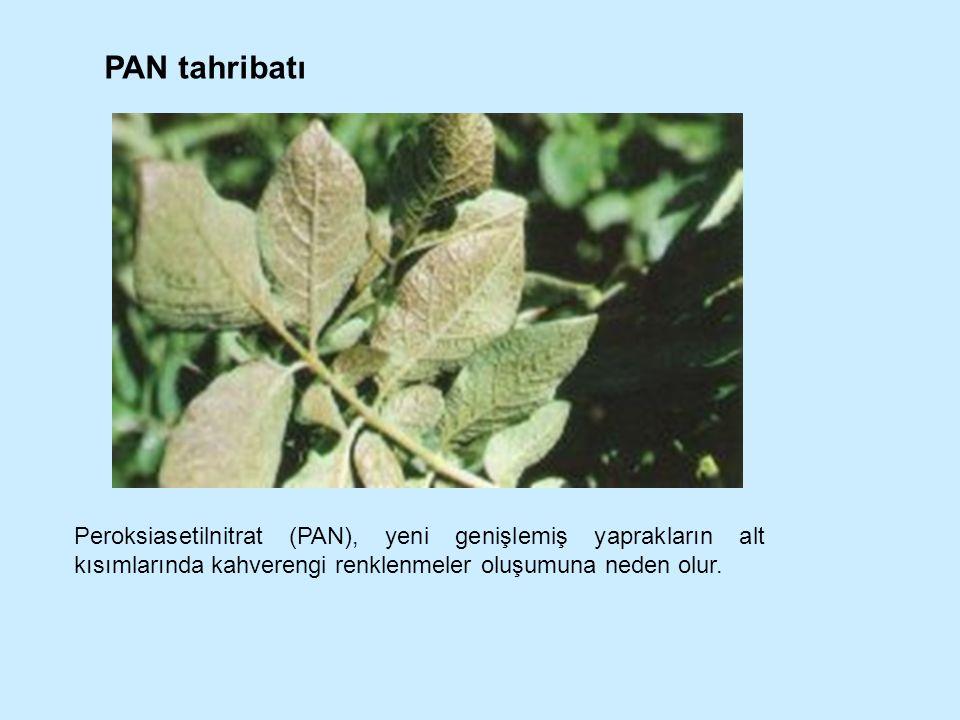 PAN tahribatı Peroksiasetilnitrat (PAN), yeni genişlemiş yaprakların alt kısımlarında kahverengi renklenmeler oluşumuna neden olur.