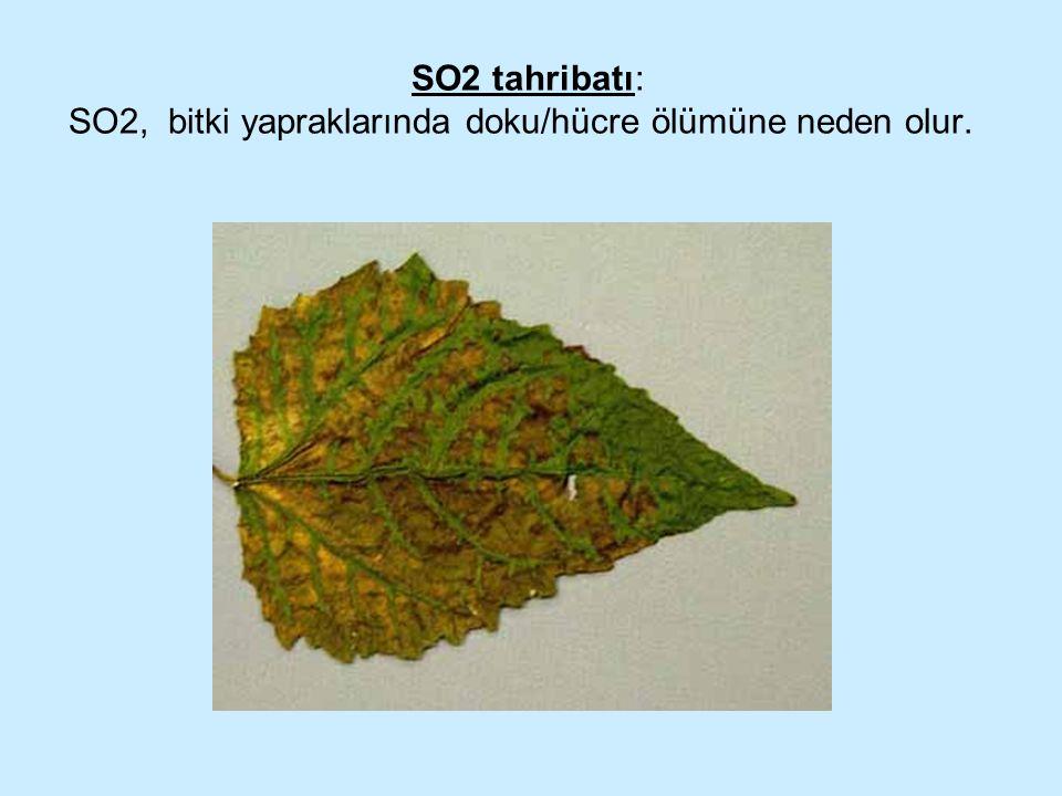 SO2 tahribatı: SO2, bitki yapraklarında doku/hücre ölümüne neden olur.