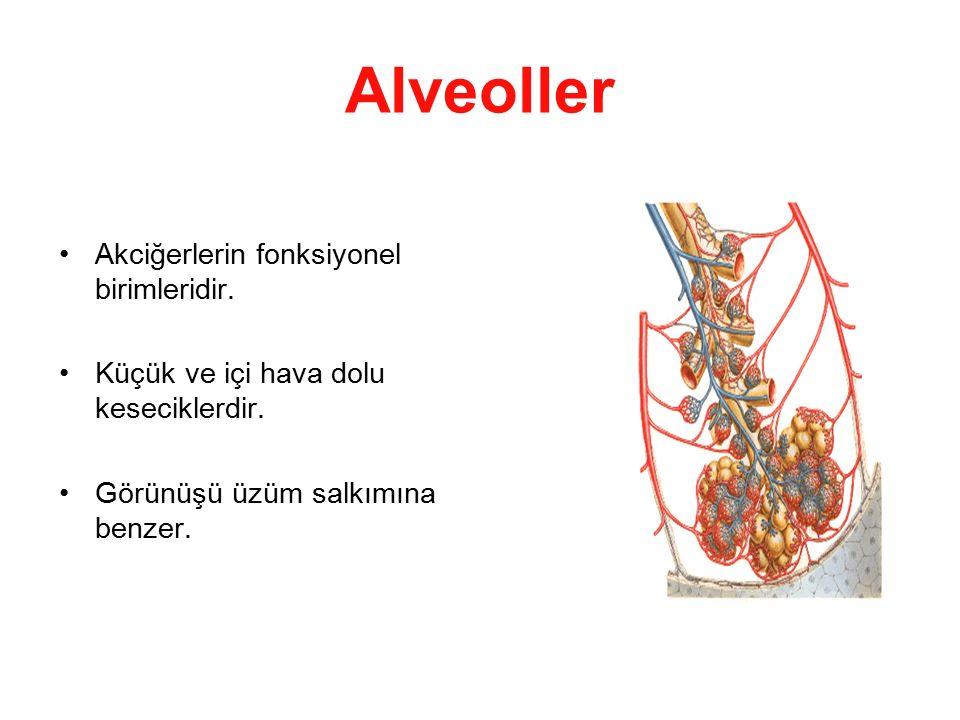 Alveoller Akciğerlerin fonksiyonel birimleridir.