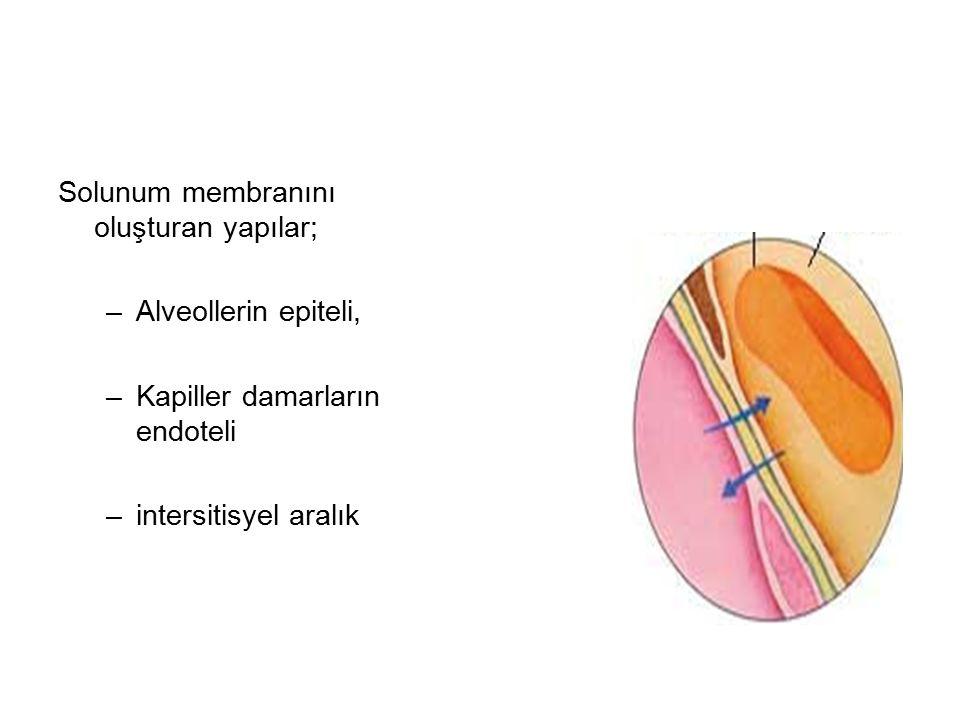 Solunum membranını oluşturan yapılar;