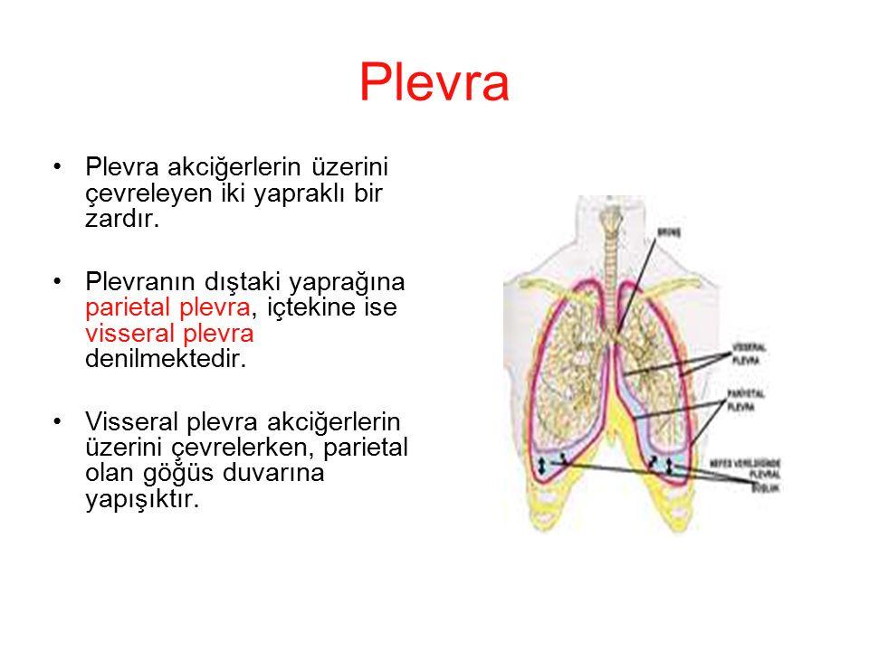 Plevra Plevra akciğerlerin üzerini çevreleyen iki yapraklı bir zardır.