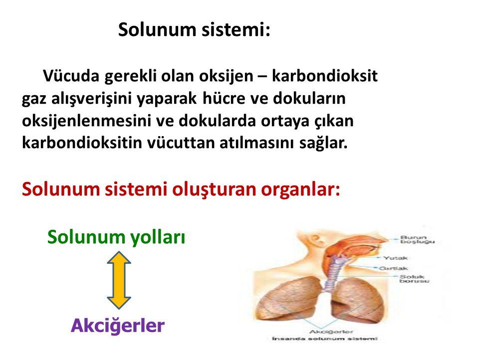 Solunum sistemi oluşturan organlar: