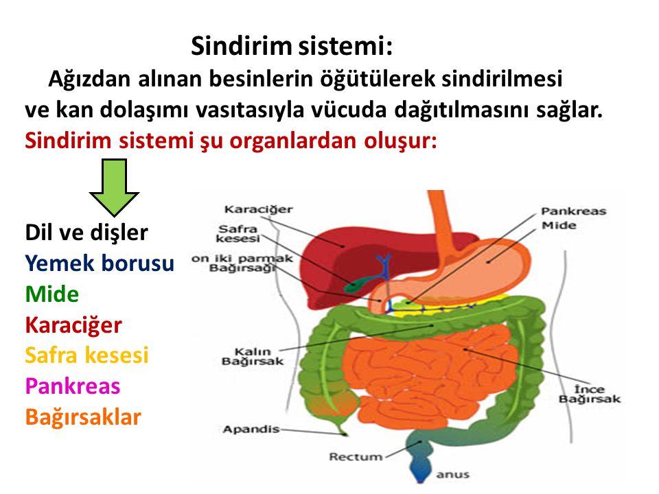 Sindirim sistemi: Ağızdan alınan besinlerin öğütülerek sindirilmesi