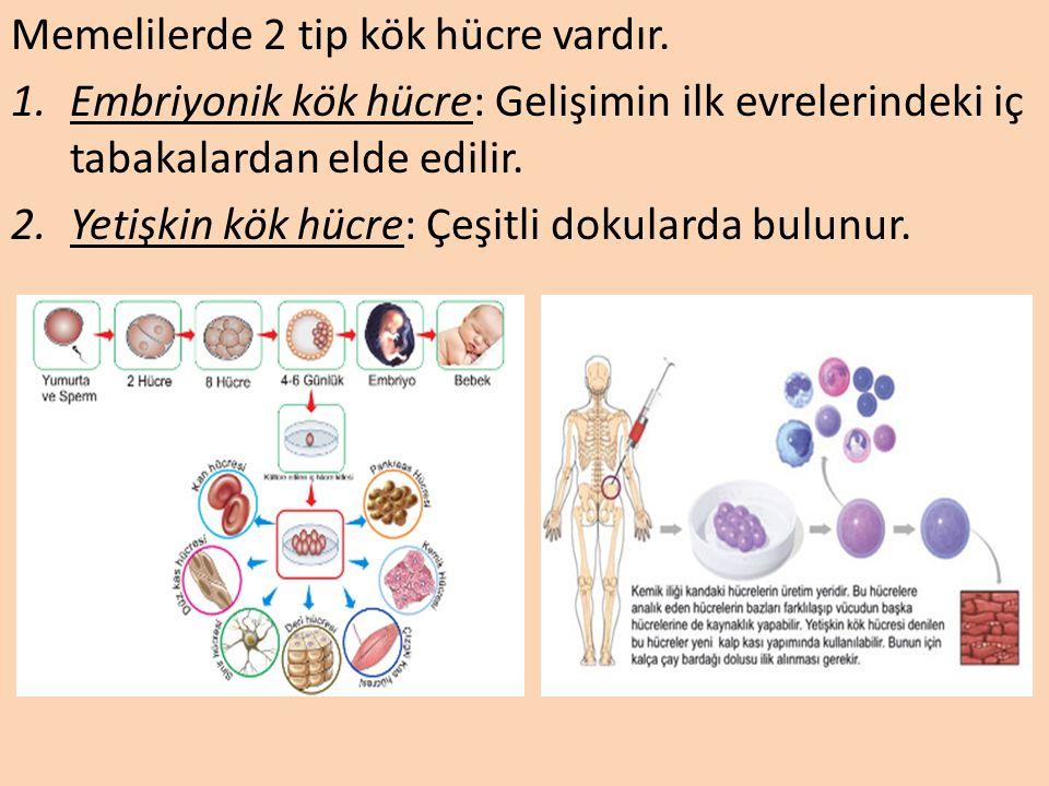 Memelilerde 2 tip kök hücre vardır.