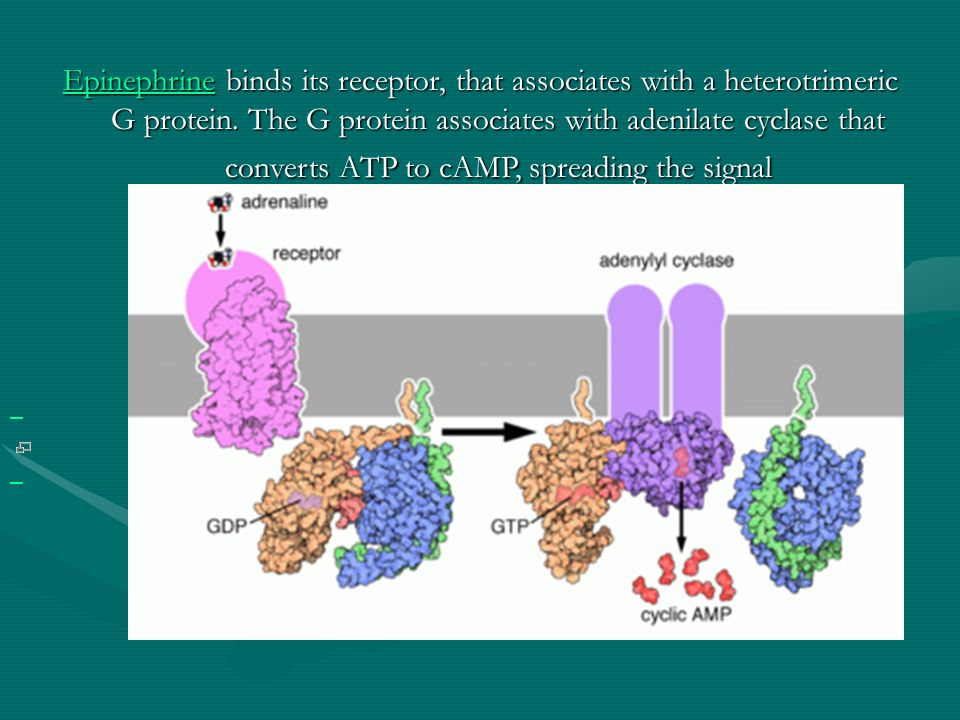 Epinephrine binds its receptor, that associates with a heterotrimeric G protein. The G protein associates with adenilate cyclase that converts ATP to cAMP, spreading the signal