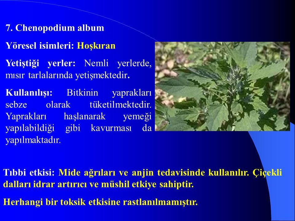 7. Chenopodium album Yöresel isimleri: Hoşkıran. Yetiştiği yerler: Nemli yerlerde, mısır tarlalarında yetişmektedir.